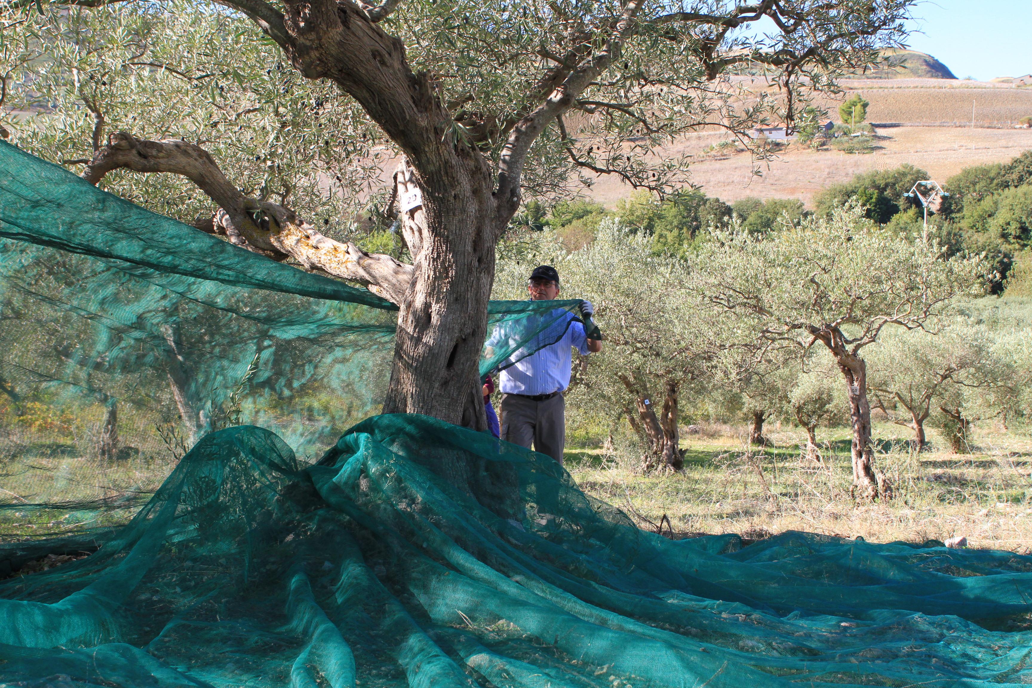 Olivenöl, Ernte, Bisaquino, Sizilien, Luigi Bellina, Olivenbaum, Meer, Strand